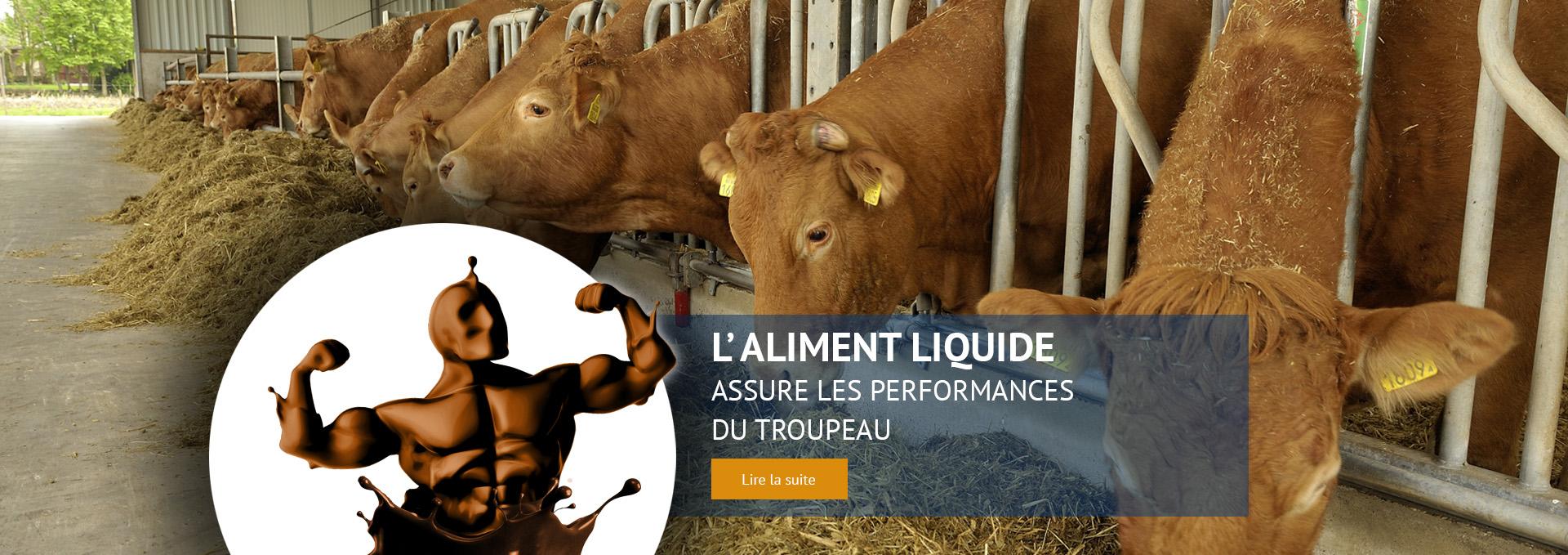 Troupeau de vaches Limousine aux cornadis en train de manger du foin