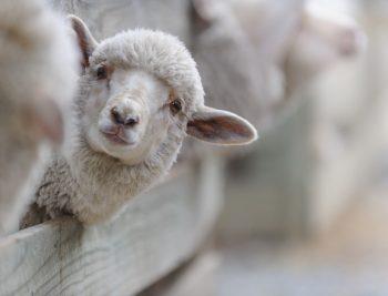Gros plan d'un mouton dans son troupeau passant la tête par-dessus sa case