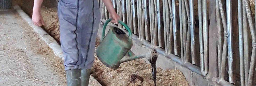 Agriculteur qui distribue de l'aliment liquide à l'aide d'un arrosoir sur le maïs ensilage au niveau de la table d'alimentation de son troupeau de vaches